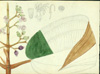 Melastomataceae - Miconia serrulata