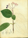 Melastomataceae - Miconia thomasiana