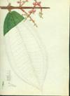 Melastomataceae - Miconia impetiolaris
