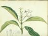 Melastomataceae - Miconia prasina