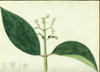 Melastomataceae - Miconia racemosa