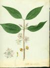 Melastomataceae - Mouriri domingensis