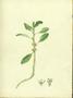 Amaranthaceae - Amaranthus viridis