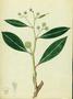 Combretaceae - Conocarpus erectus