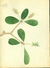 Combretaceae - Bucida buceras