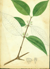 Rhizophoraceae - Cassipourea guianensis