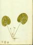 Apiaceae - Centella asiatica