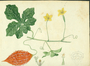 Cucurbitaceae - Momordica charantia