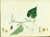 Cucurbitaceae - Melothria pendula