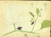 Cucurbitaceae - Cayaponia racemosa