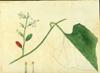Cucurbitaceae - Cayaponia americana