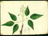 Rutaceae - Amyris elemifera