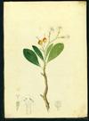 Boraginaceae - Bourreria domingensis