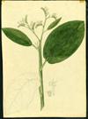 Boraginaceae - Tournefortia bicolor