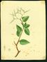 Boraginaceae - Tournefortia microphylla