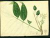 Burseraceae - Tetragastris balsamifera