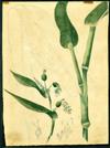 Poaceae - Coix lacryma-jobi