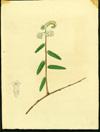 Boraginaceae - Tournefortia scabra