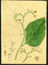 Boraginaceae - Tournefortia maculata