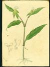 Commelinaceae - Commelina erecta