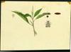 Amaranthaceae - Amaranthus spinosus