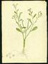 Boraginaceae - Heliotropium curassavicum