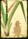 Bromeliaceae - Ananas comosus