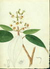 Melastomataceae - Tetrazygia urbanii