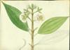 Melastomataceae - Tetrazygia biflora