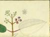 Melastomataceae - Miconia sintenisii