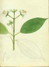 Melastomataceae - Miconia mirabilis