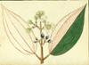 Melastomataceae - Miconia foveolata