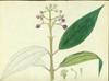 Melastomataceae - Miconia pycnoneura