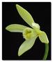Orchidaceae - Vanilla planifolia