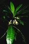 Asteraceae - Hesperomannia lydgatei