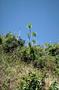 Asparagaceae - Chrysodracon auwahiensis