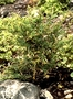 Amaranthaceae - Amaranthus brownii
