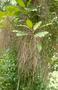 Amaranthaceae - Charpentiera obovata