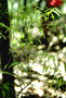 Amaranthaceae - Nototrichium humile
