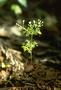 Apiaceae - Spermolepis hawaiiensis