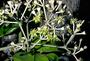 Araliaceae - Polyscias hawaiensis