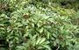 Araliaceae - Polyscias oahuensis