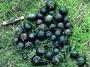Sapotaceae - Planchonella sandwicensis