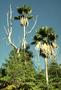 Arecaceae - Pritchardia beccariana