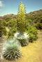 Asteraceae - Argyroxiphium sandwicense subsp. sandwicense