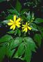 Asteraceae - Bidens amplectens