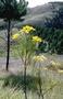 Asteraceae - Bidens menziesii subsp. menziesii