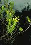 Asteraceae - Dubautia ciliolata subsp. ciliolata