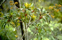 Asteraceae - Dubautia laevigata