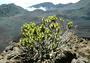 Asteraceae - Dubautia menziesii